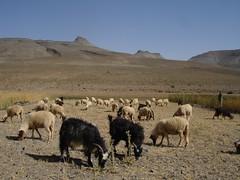 Pastwiska niedaleko Imilchil w Atlasie Wysokim, Maroko