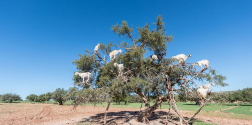 Kozy na drzewa arganowych